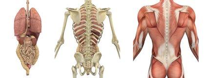 解剖后侧方覆盖躯干 免版税库存图片