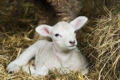 весна овечки Стоковая Фотография