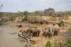 非洲饮用的大象牧群 免版税库存图片