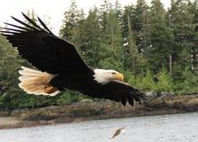 φαλακρός αετός Στοκ φωτογραφία με δικαίωμα ελεύθερης χρήσης