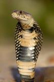плевание Мозамбика кобры Стоковые Изображения RF