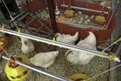 家禽 免版税库存照片