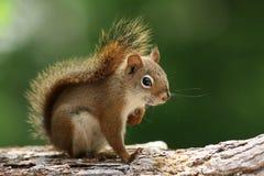κόκκινος σκίουρος κλάδ& Στοκ Εικόνες