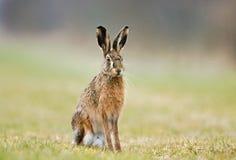 长耳大野兔 免版税库存图片