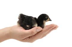 черный цыпленок Стоковые Изображения