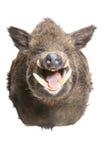 Одичалая свинья Стоковое Фото
