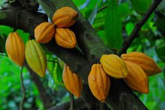 какао Стоковая Фотография RF