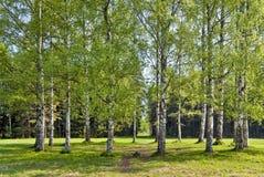 桦树圈子春天 库存照片