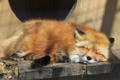小狐狸红色 免版税库存照片