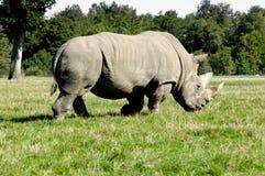 носорог Стоковые Фотографии RF