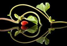 黑色平面反射性新芽草莓 库存图片