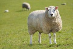 绵羊 免版税图库摄影