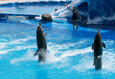 演奏他们的被培训的培训人的海豚 免版税库存图片
