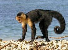 белизна обезьяны стороны Стоковое Фото