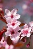 开花樱桃粉红色 库存图片