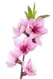开花的花桃红色春天结构树 免版税库存图片