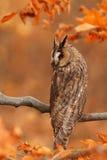有耳的长的猫头鹰 免版税图库摄影
