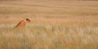 львев новичка Стоковые Изображения RF