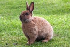 коричневый кролик Стоковое Изображение RF