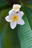 热带花的杏仁奶油饼 免版税库存图片