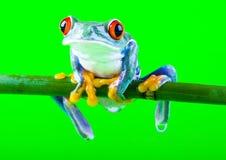 τρελλός βάτραχος Στοκ φωτογραφίες με δικαίωμα ελεύθερης χρήσης