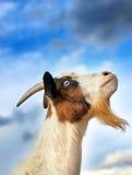 山羊天空 免版税库存图片