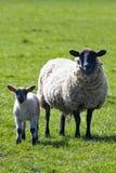 母羊她的羊羔 免版税库存照片