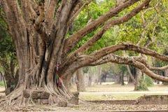 大榕属结构树 免版税库存照片