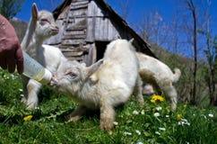 山羊孩子 图库摄影
