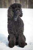 черный пудель Стоковое Фото