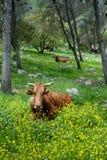 自由放养的牛 免版税库存图片