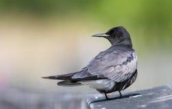 黑色燕鸥 免版税库存图片