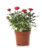 花花盆玫瑰色玫瑰 库存图片