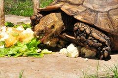吃巨型草龟 免版税库存图片