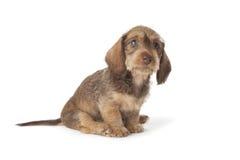 逗人喜爱的达克斯猎犬小狗 免版税库存照片