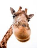 滑稽的长颈鹿 库存照片