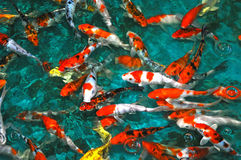 五颜六色的鲤鱼 免版税库存图片