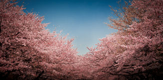 токио вишни цветения Стоковые Фото