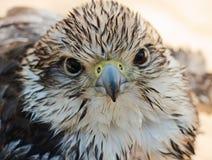 猎鹰年轻人 库存照片