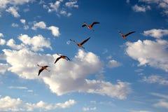 наблюдать фламингоа птицы чилийский Стоковые Фотографии RF