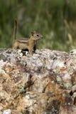 金黄陆运后被覆盖的地面松鼠类灰鼠 免版税库存图片