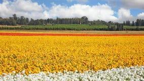 繁殖的毛茛农场 免版税库存照片