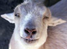 萘及利亚人矮小的山羊 库存图片