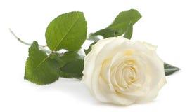 белизна розы фронта предпосылки Стоковые Изображения