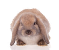 宠爱兔子 库存照片