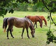 吃草马的英国农村 库存图片