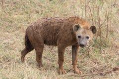 鬣狗 免版税库存照片