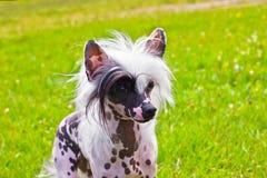 品种中国有顶饰狗 库存图片