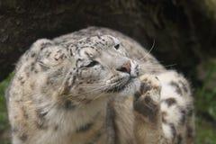 леопард царапая снежок Стоковые Фотографии RF