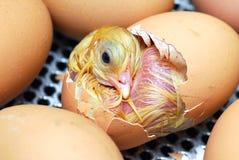 鸡 免版税库存图片